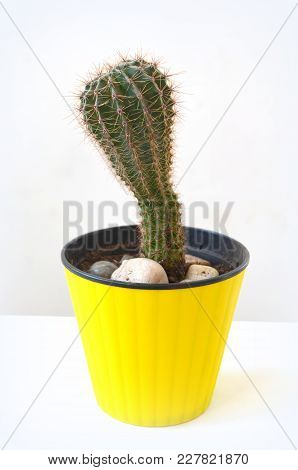 Cactus Potted Plant In A Yellow Pot On A White Background