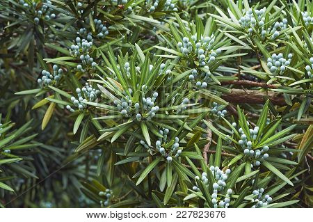 Yew Plum Pine Tree With Cones