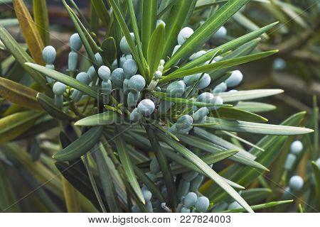 Yew Plum Pine Cones