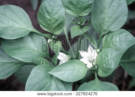 Growing In A Greenhouse Pepper, Among The Green Leaves Of White Flowers And Buds.