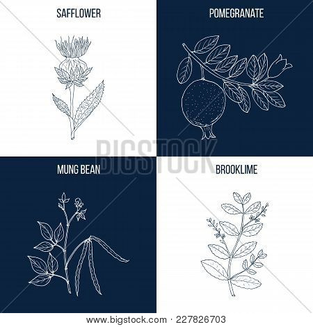 Vector Collection Of Four Hand Drawn Medicinal And Eatable Plants, Safflower, Pomegranate, Mung Bean