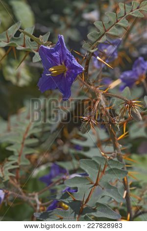 Porcupine Tomato (solanum Pyrocanthos). Close Up Image Of Plant