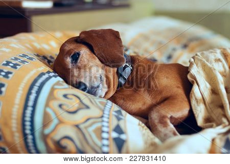 Funny Small Dog Lies On A Pillow Under A Blanket, Thinking About Something Important.