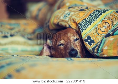 Old Funny Dog Is Sleeping Sweetly On The Couch, Sticking Its Muzzle Out From Under The Blankets.