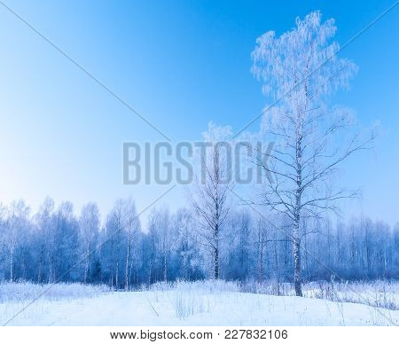 Frosty Winter Early Morning And Frosty Silver Birches