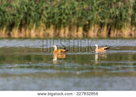 Two Natural Ruddy Shelducks (tadorna Ferruginea) Swimming, Water, Reed
