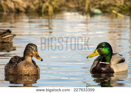 Female Wild Mallard Duck And A Drake Swim In A Pond (anas Platyrhynchos)