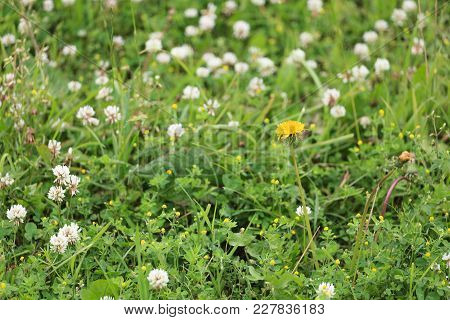 Lawn With Clover And Other Herbs.