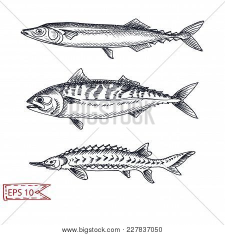 Vector Illustration Sketch - Fish. Hand Drawn Sketsh Card Menu S