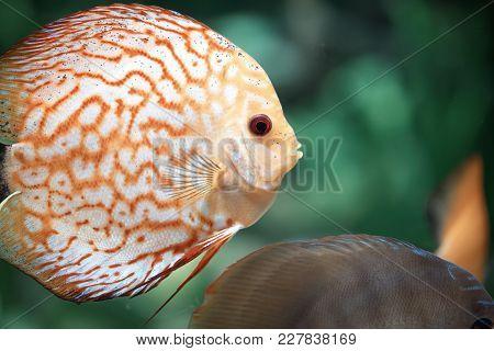 Pigeon Blood Discus Fish, Beautiful Orange Symphysodon