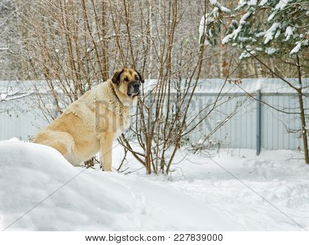 Big Dog Sitting In The Snow Among The Snowdrifts