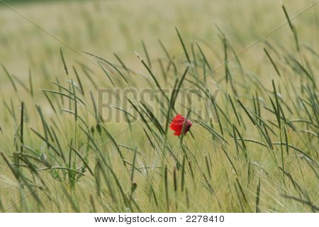 Summer coquelicots