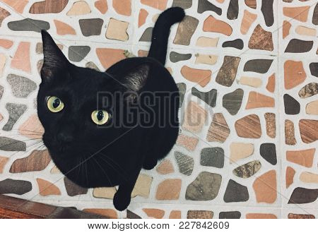 Siamese Cat Black Color Sit On The Tile Floor And Looking Up, Black Cat With Yellow Color Eyes.