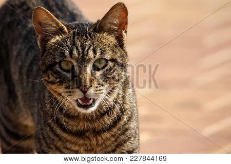 Gray Striped Tabby Street Cat Showing Fangs Wallpaper