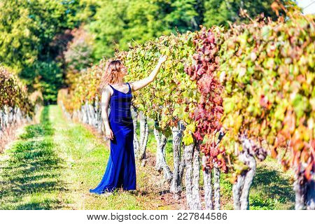 Elegant Young Woman In Blue Velvet Dress By Vineyard Winery Grapevine Leaves Red Dry Green In Virgin