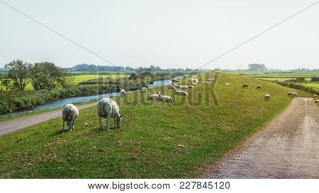 Sheeps Graze The Grass On The Dike In The Beautiful Frisian Countryside In The Netherlands
