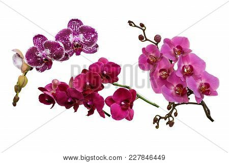 Spotted Purple, Pink And Lilac Flowers Of Orchids Phalaenopsis, Living Tropical Plant. Isolated, Whi
