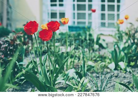 Red Tulips In The Garden In Front Of The White Semi-basement Window