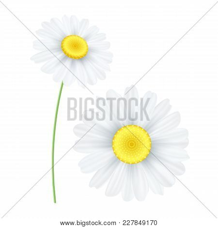 Spring Chamomile Flower Isolated On White Background. Graphic Object For Your Design. Seasonal Daisy