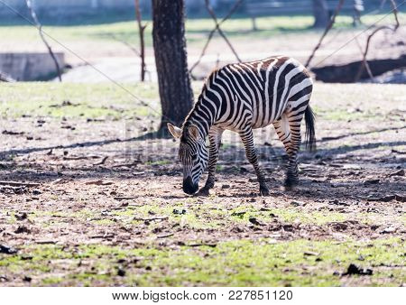 The Zebra Looking For Food On The Ground In Safari Park Ramat Gan, Israel