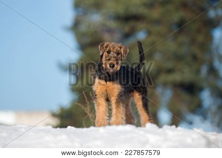 beautiful airedale terrier puppy standing outdoors in winter