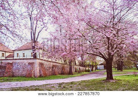 Pink Bloom Of Sakura Trees In Brno Near Chirch Nejsvetejsi Troijce