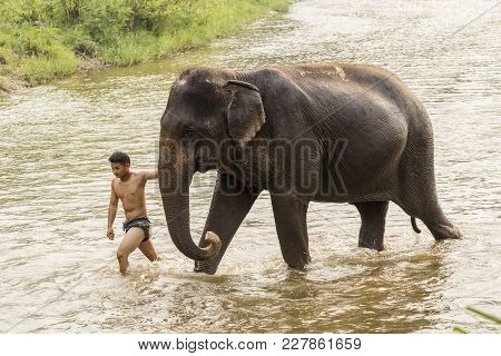 Chiang Mai, Thailand- April 4, 2017: The Elephant Mahout Take Elephant To Bathe In The River.