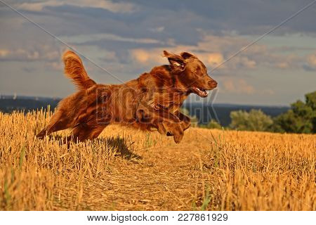Brown Flat Coated Retriever Is Running On A Stubble Field