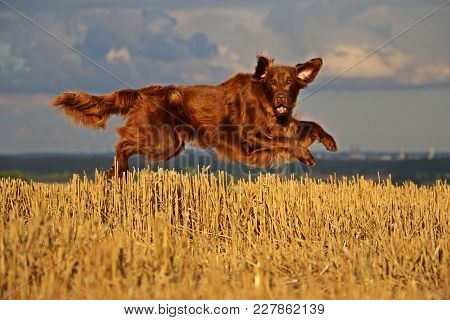 Brown Flat Coated Retriever Is Flying Over A Stubble Field