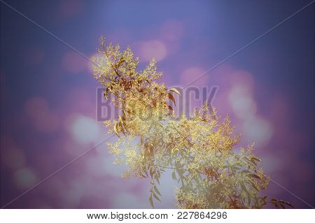 Retro White Flower In Blue Sky Or Fraxinus Griffithii Tree