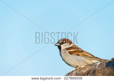 Close Up Portrait Of House Sparrow On Branch, Passer Domesticus