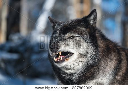 An Annoyed Black Tundra Wolf Showing Its Teeth