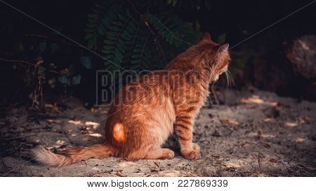 A Red Cat Is Sitting With His Back On The Beach In The Fall.