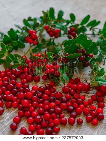 Berries Of Red Cowberry Along With Twigs With Green Leaves.