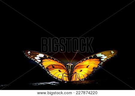 Danaus Chrysippus, Also Known As The Plain Tiger Or African Monarch, Is A Medium-sized Butterfly Wid