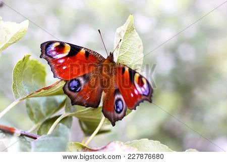 Butterfly Peacock Eye ( Inachis Io) On A Branch Of A Tree, A Fine Summer Day, Beautiful Nature