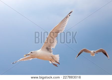 Two Big Gulls In Blue Sky Looking Around And Flying Up. Meal In The Beak. Sky Landscape