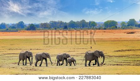 African Elephants Walking Across The Open Plains In South Luangwa National Park, Zambia, Southern Af