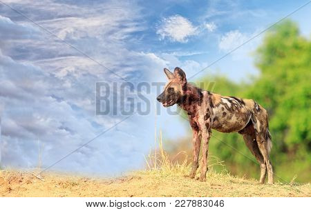 Wild Dogs - Painted Dogs Surveying The Area In South Luangwa With A Vivid Blue Sky And Vibrant Bush
