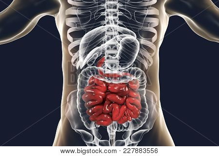Human Digestive System Anatomy With Highlighted Small Intestine, 3d Illustration