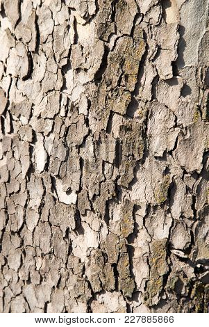 Tree Bark As A Background . Photo Of An Abstract Texture
