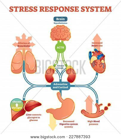 Stress Response System Vector Illustration Diagram, Nerve Impulses Scheme. Educational Medical Infor