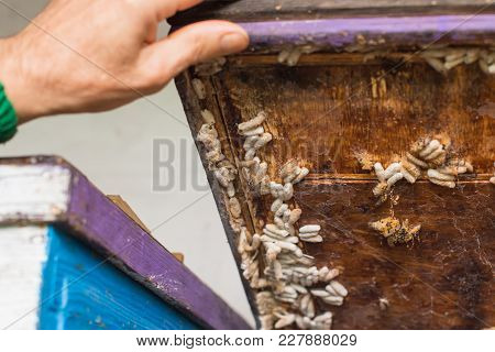 Wax Moth Larvae On An Infected Bee Nest. Beekeeper Opens The Lid Of The Hive Of The Hive, The Wax Mo
