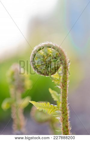 A Fern Unrolling A Young Frond. Polypodiopsida. Tree Fern Unrolling A New Frond. Blossoming Fern Tru