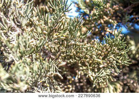 Kipsin Branch Of The Cedar Tree. Kucha Quaidzalisa Is An Evergreen Coniferous Tree In The Family Of