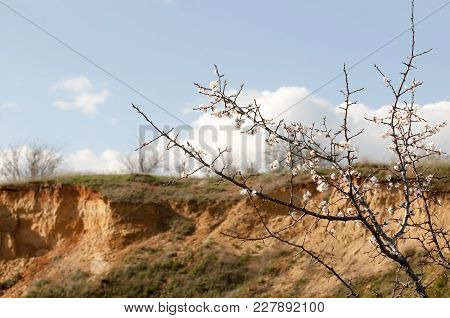 Flowering Branch Close-up. Spring Garden Of Flowering Apricots. Spring Color. Apricot Branch Color C