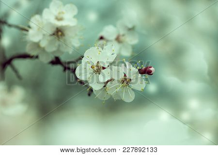 Close Up Of The Blooming Branch Of The Fruit Tree. Beautiful Nature Scene With Blooming Tree. Abstra