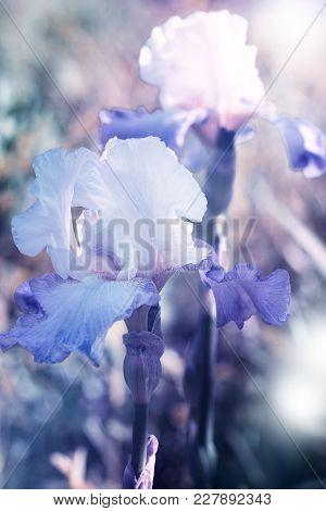 Beautiful Iris Flower Background. Violet Iris Over Green Meadow Bright Background