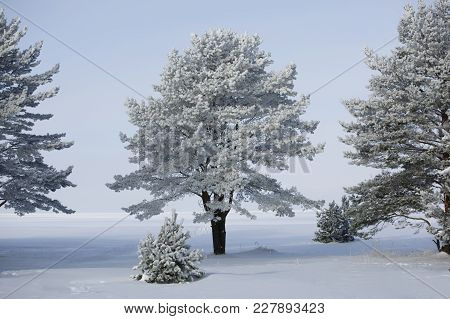 Snow-covered Pine On The Shore Of The Frozen Sea