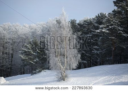 Snow-covered Shore Of The Gulf Of Finland. Pines Covered With Hoarfrost.